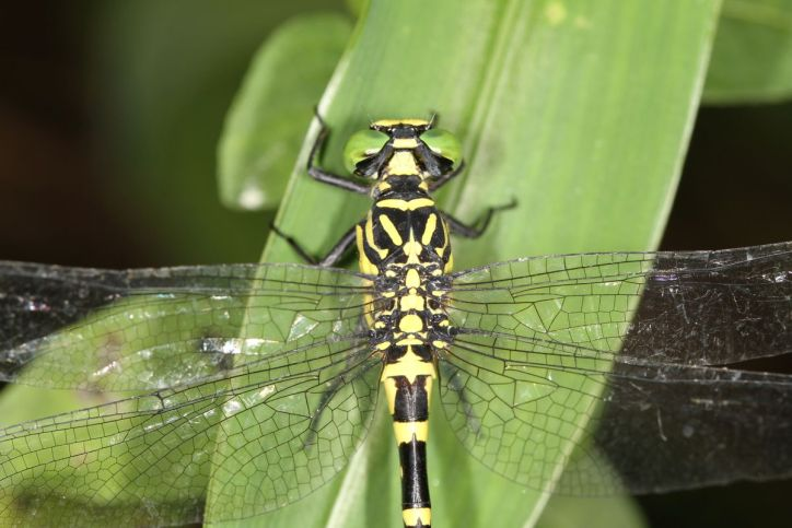 Flussjungfern / Club-tailed dragonflies / Gomphidae