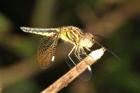Asian Widow / Palpopleura sexmaculata