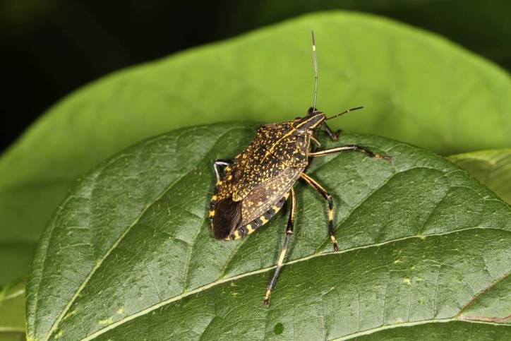 Yellow spotted stink bug / Erthesina fullo