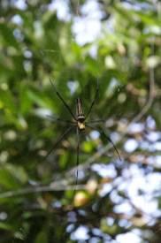 Seidenspinne /Nephila sp.