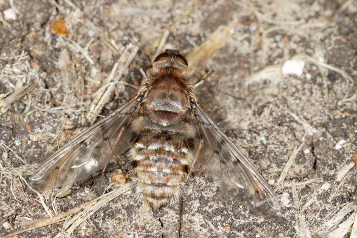 Wollschweber, Hummelfliegen, Trauerschweber / Bee flies / Bombyliidae