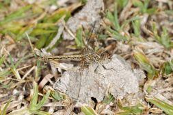 Treuer Kurzpfeil / Banded Groundling / Brachythemis leucosticta
