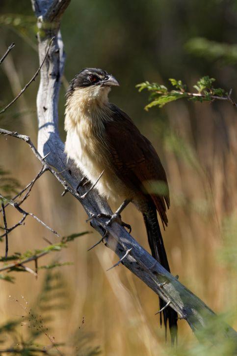 Spornkuckuck / Senegal Coucal / Centropus senegalensis