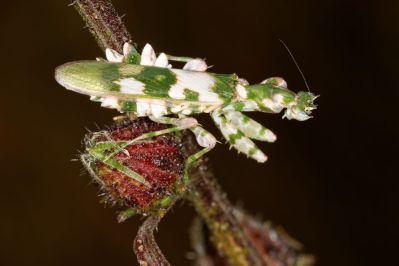 Flower Mantid / Harpagomantis tricolor