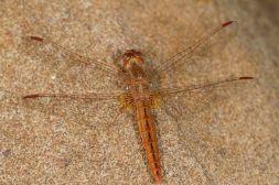 Segellibellen / Skimmers, Perchers / Libellulidae