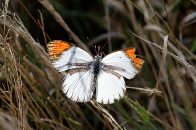 Desert orange tip / Desert orange tip, Small orange tip, Tiny orange tip / Colotis evagore