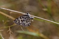Common pierrot / Common pierrot / Castalius rosimon