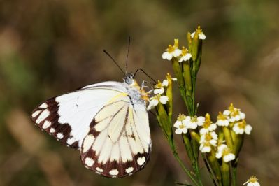 Weißlinge / Yellow-White butterflies / Pieridae