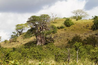 Affenbrotbaum / African Baobab / Adansonia digitata