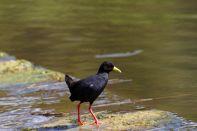 Mohrensumpfhuhn / Black crake / Amaurornis flavirostra