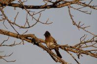 Vangaschnäpper / Black-and-white Shrike-flycatcher / Bias musicus
