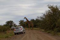 Autors und eine Giraffe