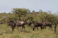 Streifengnu / Blue Wildebeest, Brindled Gnu / Connochaetes taurinus