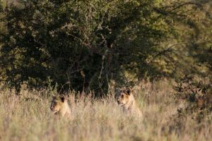 Zwei Löwinnen im Gras