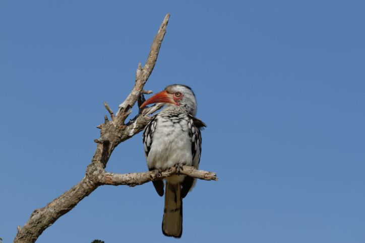 Rotschnabeltoko / Red-billed Hornbill, Northern Red-billed Hornbill / Tockus erythrorhynchus