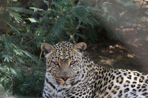 Leopard / Panthera pardus in Lionsrock