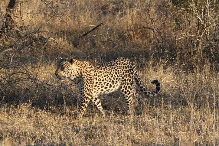 Leopard / Panthera pardus
