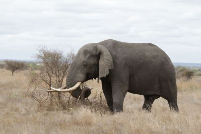 Afrikanischer Elefant (m)