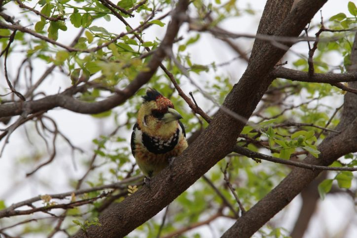 Haubenbartvogel