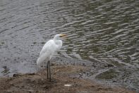 Silberreiher / Great egret, Great White Heron, Western Great Egret, Eastern Great Egret, Common Egret, Large Egret / Ardea alba, Egretta alba