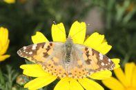 Distelfalter auf Kronenwucherblume