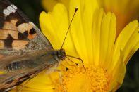 Distelfalter saugt an Kronenwucherblume