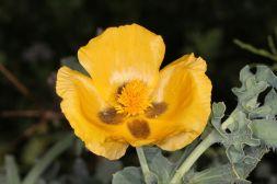 Blüte des Gelben Hornmohns
