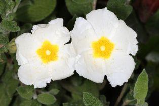 Blüten einer Salbeiblättrige Zistrose