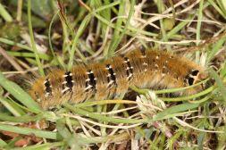 Schmetterlingsraupe
