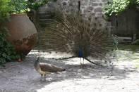 Blauer Pfau