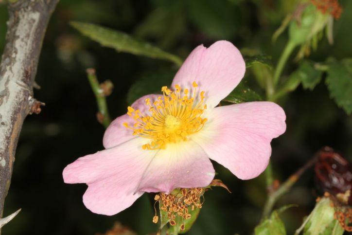 Blüte einer Hunds-Rose