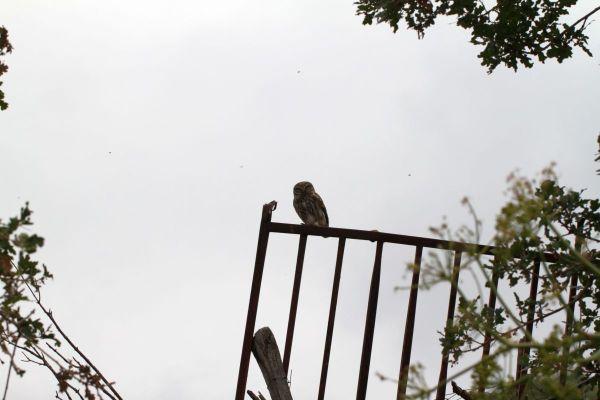 Steinkauz / Little owl / Athene noctua? (wie gesagt mehr ein Belegfoto)