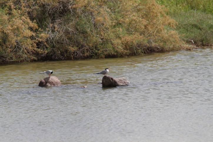 Fluss-Seeschwalben