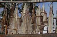 Zum Trocknen aufgehängte Fische