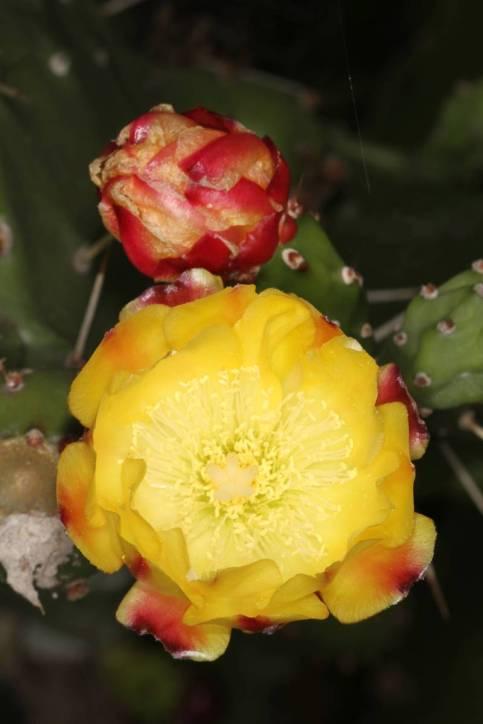 Blüte eines Feigenkaktus