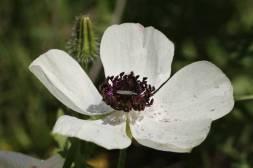 Wahrscheinlich ein Asiatischer Hahnenfuß mit Käfer (Prickly poppy / Argemone mexicana, Fam. Mohngewächse / Poppy family / Papaveraceae)
