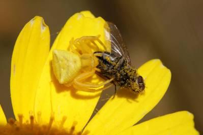 Veränderliche Krabbenspinne mit Fliege auf Kronenwucherblume