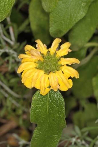 Blüte eines Phlomis cypria subsp. occidentalis (kommt nur auf Akamas und im Paphos Forest vor!)