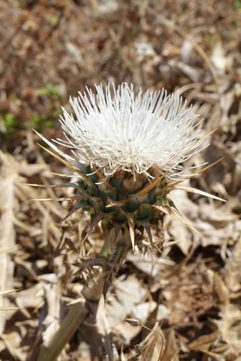 Cynara cornigera (Artischockenart)