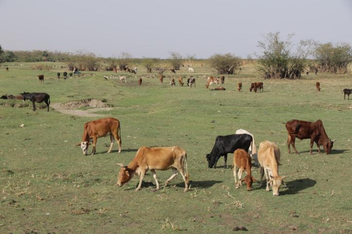 Wildrinder / Cattle / Bos