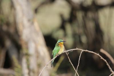 Blaubrustspint / Blue-breasted bee-eater / Merops variegatus