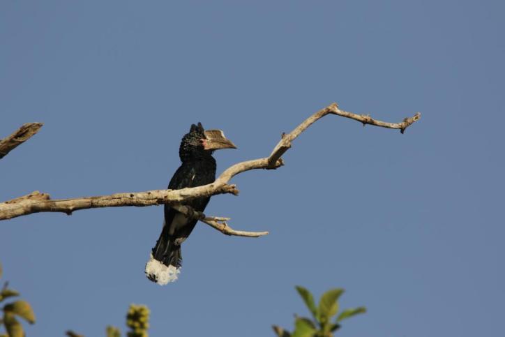 Silberwangenhornvogel / Silvery-cheeked hornbill / Bycanistes brevis