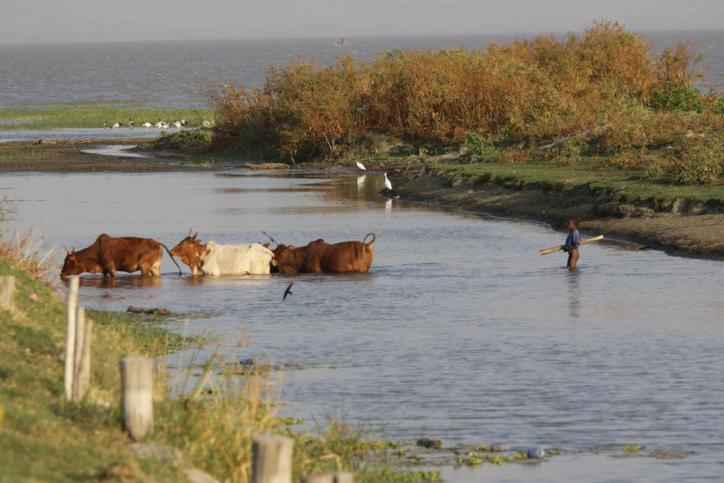 Hirte und Kühe