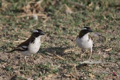 Mahaliweber, Augenbrauenmahali / White-browed sparrow-weaver / Plocepasser mahali