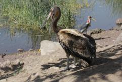 Rötelpelikan / Pink-backed pelican / Pelecanus rufescens