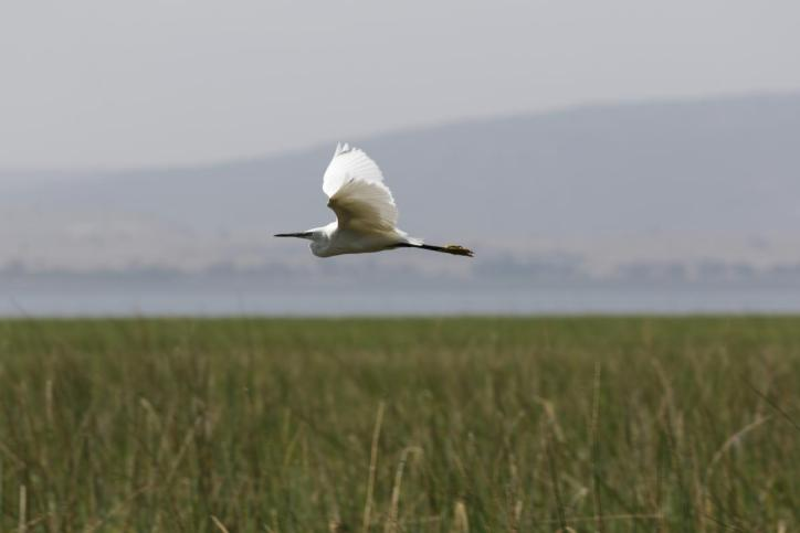 Seidenreiher / Little Egret / Egretta garzetta
