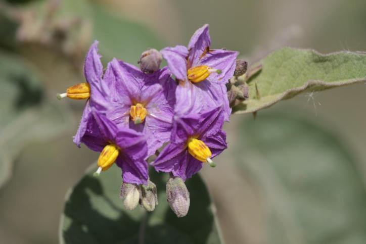 Nachtschattengewächse / Solanaceae