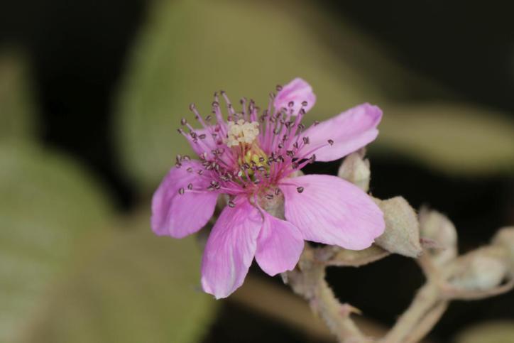 Rubus apetalus ?