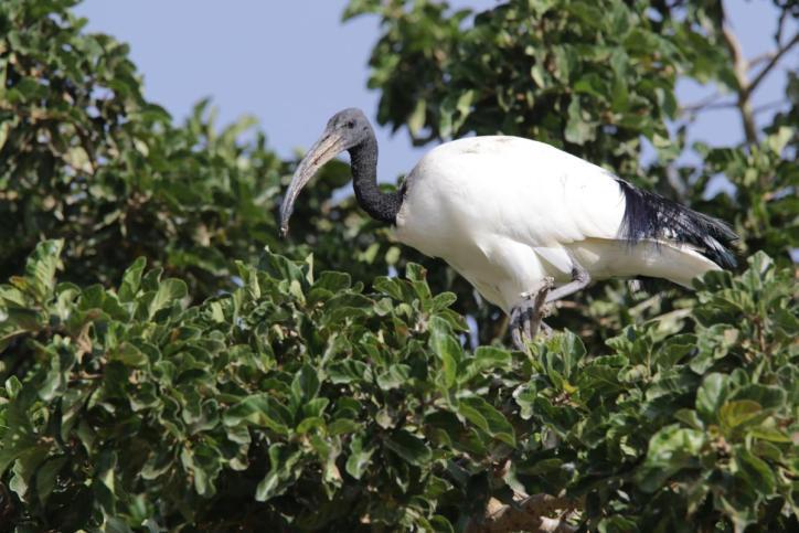 Heiliger Ibis / African Sacred Ibis, Sacred Ibis / Threskiornis aethiopicus