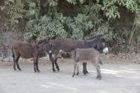 Hausesel / Equus asinus asinus